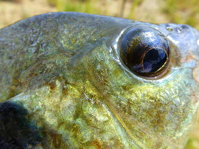 Photograph - Eye Of A Bluegill by Beth Akerman