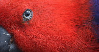 Eclectus Parrot Photograph - Eye Of Eclectus by Fraida Gutovich
