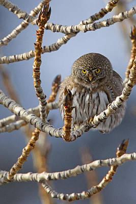 Pygmy Owl Wall Art - Photograph - Eyes Of The Hunter by Sandy Sisti