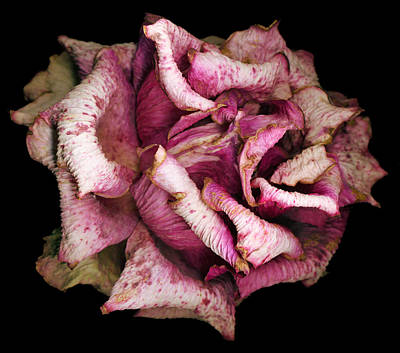 Still Life Photograph - Fading Rose by Tim Fleming