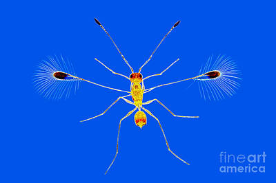 Rheinberg Illumination Photograph - Fairy Fly, Rheinberg Illumination by M. I. Walker