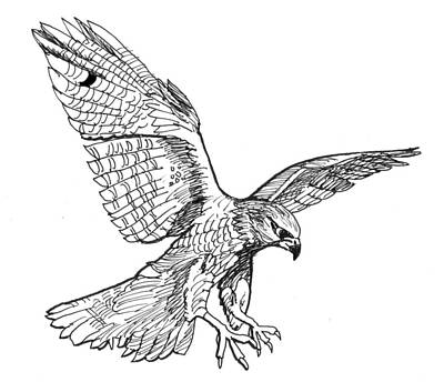 Drawing - Falcon by David Burkart