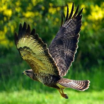 Falcon In Flight Art Print