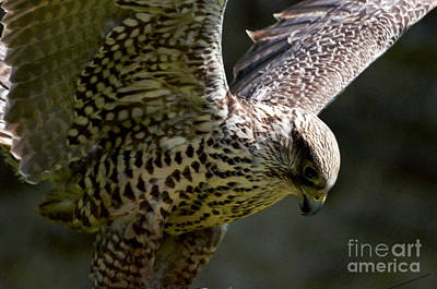Falcon Taking Off Art Print by Pravine Chester