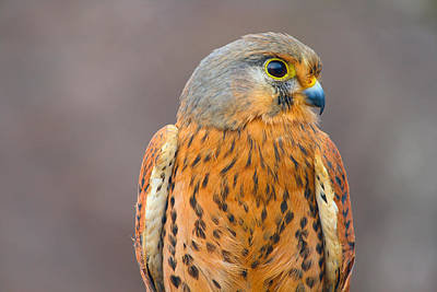 Lviv Photograph - Falcon by Yogo