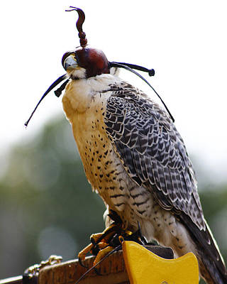 Photograph - Falconry 3 by Scott Hovind