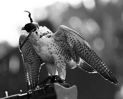 Photograph - Falconry 4 by Scott Hovind