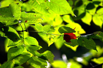 Striking Photograph - Fall Begins With The 1st Red Leaf by LeeAnn McLaneGoetz McLaneGoetzStudioLLCcom
