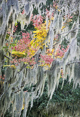 Fall Colors In Spanish Moss Art Print by Carolyn Marshall