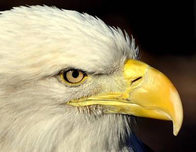 Fall Eagle  Art Print by Marty Koch