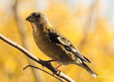 Santas Reindeers Royalty Free Images - Fall Grosbeak Royalty-Free Image by Cheryl Baxter