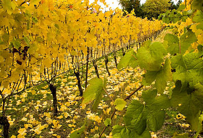 Photograph - Fall In The Vineyard by Jean Noren