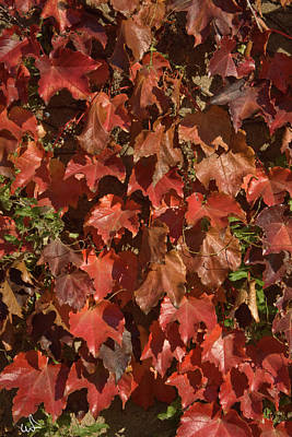 Photograph - Fall Ivy On An Old Wall by Michael Flood