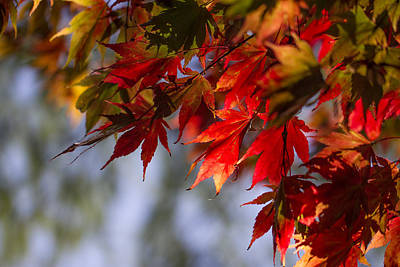 Photograph - Fall Leaves Glowing Like Flames. by Clare Bambers