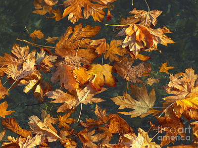 Autumn Leaf On Water Photograph - Fall Maple Leaves On Water by Sharon Talson