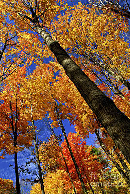 Bright Colors Photograph - Fall Maple Trees by Elena Elisseeva