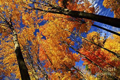 Fall Maple Treetops Art Print by Elena Elisseeva