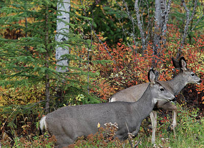 Photograph - Fall Mule Deer by Jan Piet