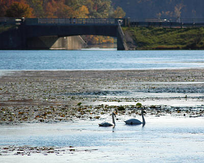 Swan Photograph - Fall Swans At Stoney Creek by LeeAnn McLaneGoetz McLaneGoetzStudioLLCcom