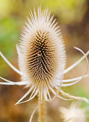 Dry Felt Photograph - Fall Thistle by Kevin Felts