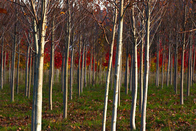 Photograph - Fall Trees by Jean Noren