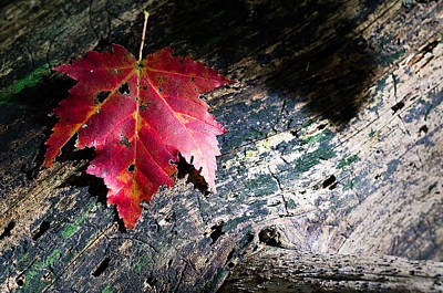 Photograph - Fallen Autumn Maple Leaf by Lori Coleman