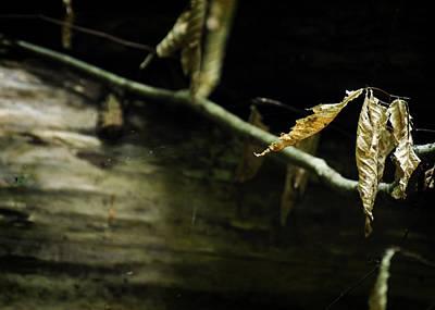 Photograph - Fallen Beech by Rebecca Sherman