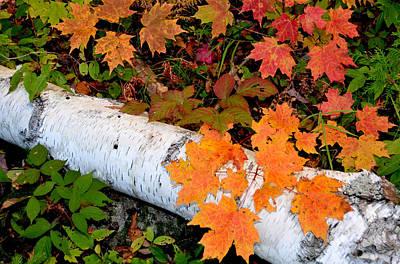 Photograph - Fallen Birch by Peter DeFina