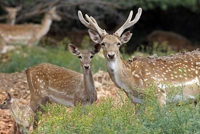 3 October Photograph - Fallow Deer by Photostock-israel