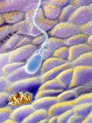 False-colour Sem Of A Spermatozoon On Uterus Wall Art Print by Prof. P. Mottadept. Of Anatomyuniversity \la Sapienza\, Rome