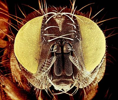 Housefly Wall Art - Photograph - False-colour Sem Of The Head Of A Housefly by Dr Jeremy Burgess