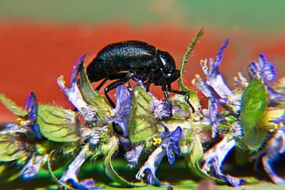 Beetle Photograph - False Darkling Beetle 1 by Douglas Barnett
