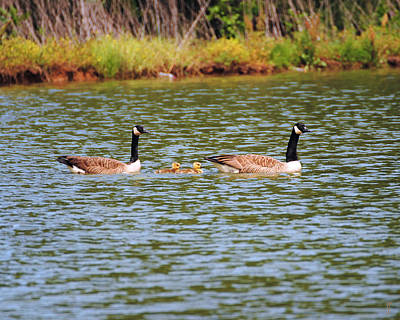 Photograph - Family Of Geese by Jai Johnson