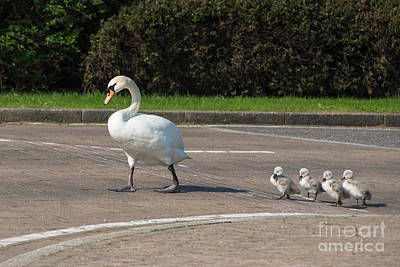 Swan Photograph - Family Of Swans Cross The Road 2 by Andrew  Michael