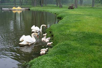 Family Of Swans Original