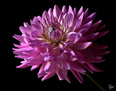 Photograph - Fancy Dahlia by Endre Balogh