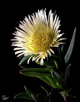 Platy Photograph - Fancy Ice Plant by Endre Balogh