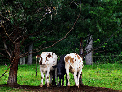 Photograph - Farm Cattle by Ms Judi