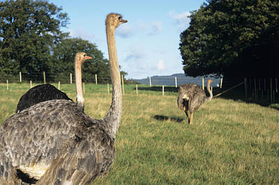 Ostrich Photograph - Farmed Ostriches by David Aubrey