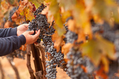 Vino Photograph - Farmer Inspecting His Ripe Wine Grapes by Andy Dean