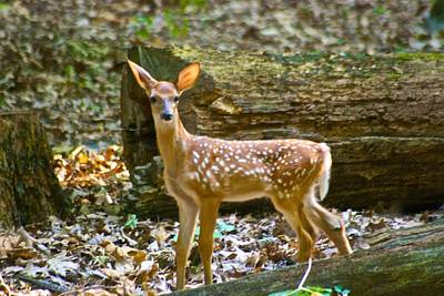 Whitetail Fawn Photograph - Fawn 4 7772 by Michael Peychich