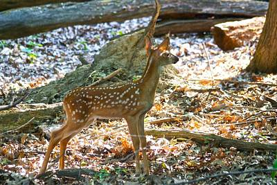 Whitetail Fawn Photograph - Fawn 7775 by Michael Peychich