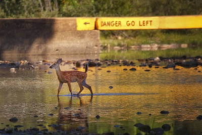 Photograph - Fawn Crossing The Buffalo National River At Ponca by Michael Dougherty