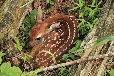 Art Print featuring the photograph Fawn by Doug McPherson