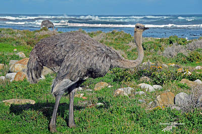 Feathers By The Sea Wild Female E African Ostrich Southern Race Cape Of Good Hope South Africa Art Print by Jonathan Whichard