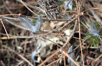 Photograph - Feathers In The Twigs by S and S Photo