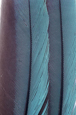 Purple Sensation Photograph - Feathers by John Foxx