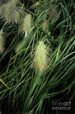 Feathertop Grass (pennisetum Villosum) Art Print by Adrian Thomas