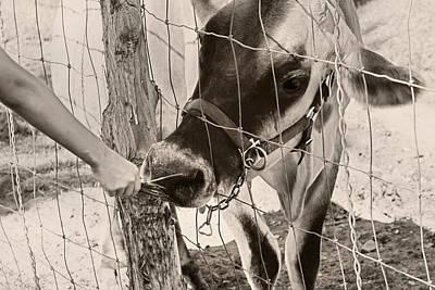Feeding Baby Cow On Farm Art Print