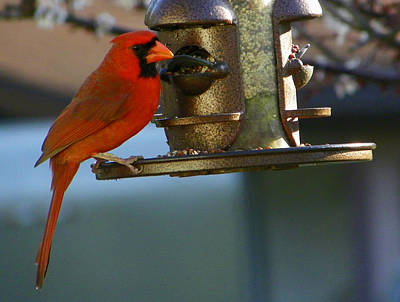 Photograph - Feeding Cardinal by Judy Wanamaker